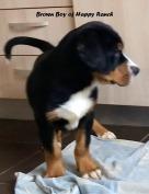 Brown boy 11 weeks old11