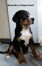 Brown boy 11 weeks old4