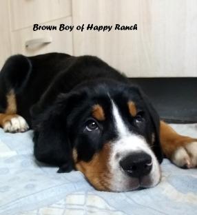 Brown boy 11 weeks old6