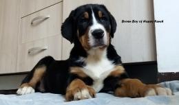 Brown boy 11 weeks old7