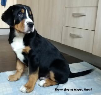 Brown boy 11 weeks old8