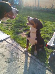 Entlebucher Sasha si Swissy Bella